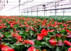 Red Flower Greenhouse For Sale-Jianchuan Greenhouse
